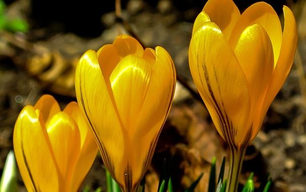 Фото обои природа, растение, лепестки, крокус