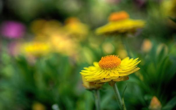 Фото обои макро, цветы, природа, желтые, лдето