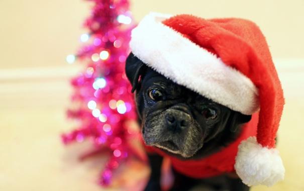 Фото обои взгляд, праздник, собака