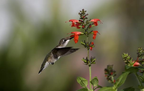 Фото обои цветы, нектар, птица, колибри
