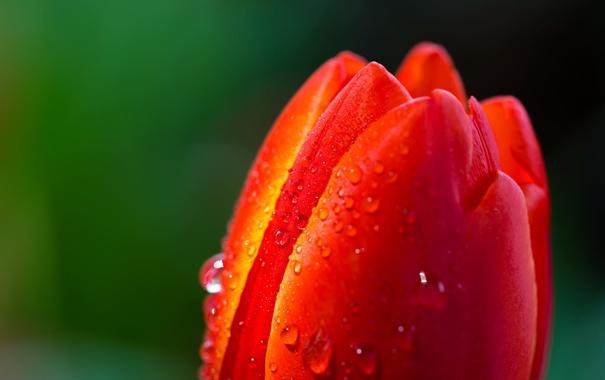 Фото обои цветок, красный, роса, тюльпан, весна