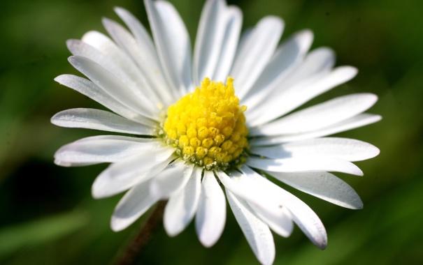Фото обои цветок, природа, растение, весна, лепестки, ромашка, цветение