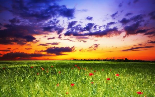 Фото обои поле, небо, трава, закат, цветы, маки, sky