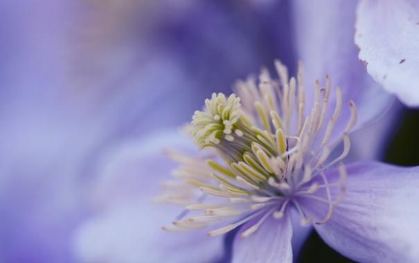 Фото обои цветок, фон, сиреневый, Purple haze