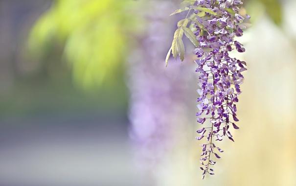 Фото обои цветы, природа, фон, Глициния