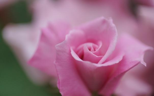 Фото обои цветок, макро, розовая, роза