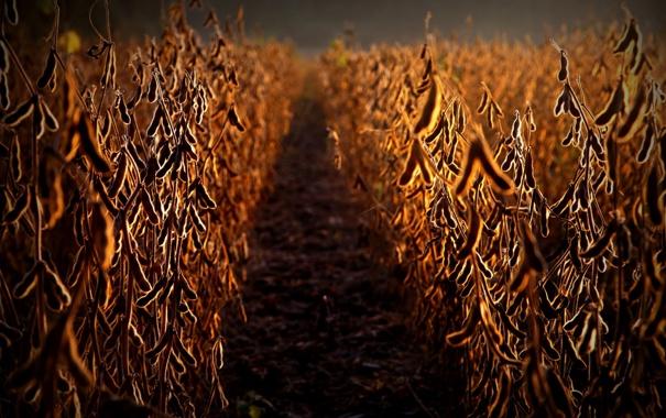 Фото обои field, food, soja