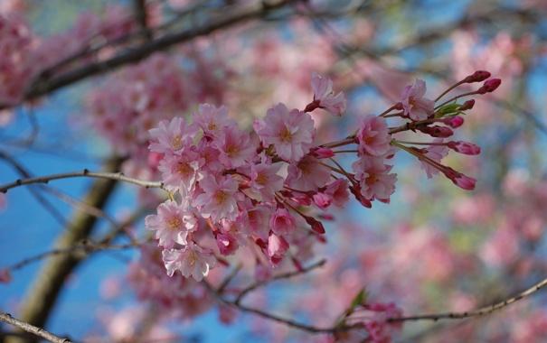 Фото обои небо, деревья, цветы, природа, ветка, весна, розовые