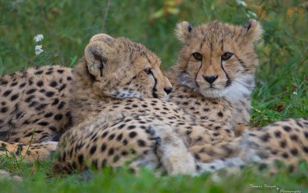 Фото обои дикие кошки, морда, гепарды, отдых, пара, хищники