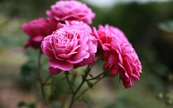 Фото обои макро, цветы, розы, красота, лепестки, розовые, бутоны