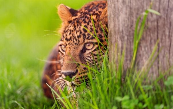 Фото обои леопард, затаился, поджидаит