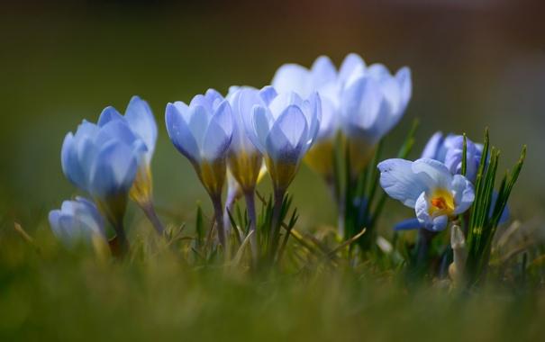 Фото обои голубой, весна, крокус, шафран
