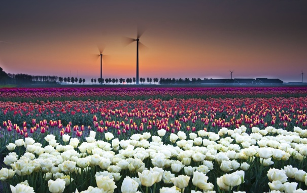 Фото обои поле, закат, тюлпаны