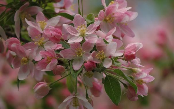 Фото обои макро, весна, яблоня, цветение