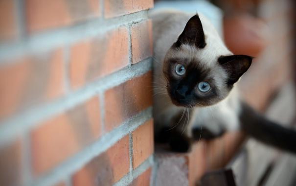 Фото обои кошка, взгляд, стена