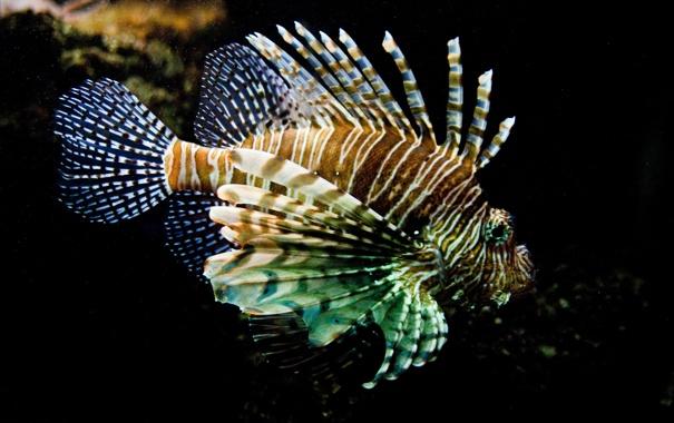 Фото обои море, вода, рыба, полосатая, крылатка, ядовитая