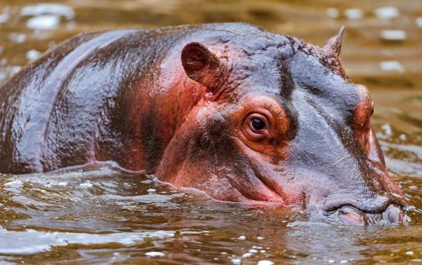 Фото обои вода, великан, бегемот