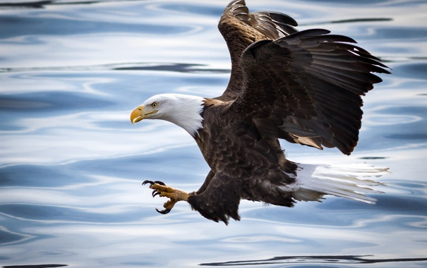 Фото обои вода, полет, река, птица, атака, рыбалка, крылья