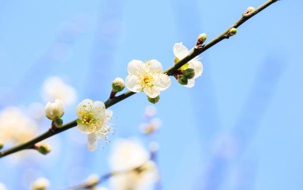 Фото обои небо, дерево, ветка, весна, цветение, фруктовое