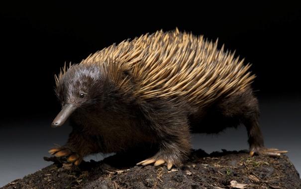 Фото обои иголки, зверёк, млекопитающее, Австралийская ехидна