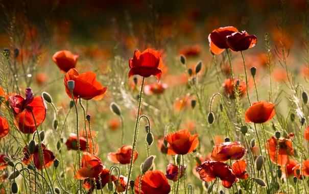Фото обои цветы, красный, маки, red, красивые, flowers, beautiful
