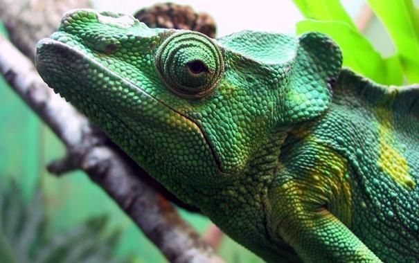 Фото обои глаз, ветка, джунгли, игуана, зелёная