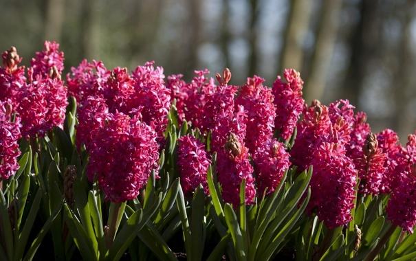 Фото обои цветы, много, гиацинты
