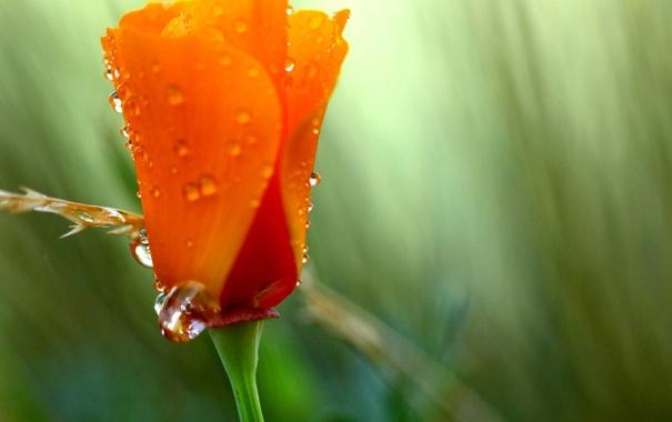 Фото обои цветок, лето, цвета, капли, оранжевый, зеленый, роса