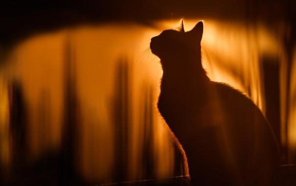 Фото обои кошка, животные, кот, природа, силуэт, солнечный свет