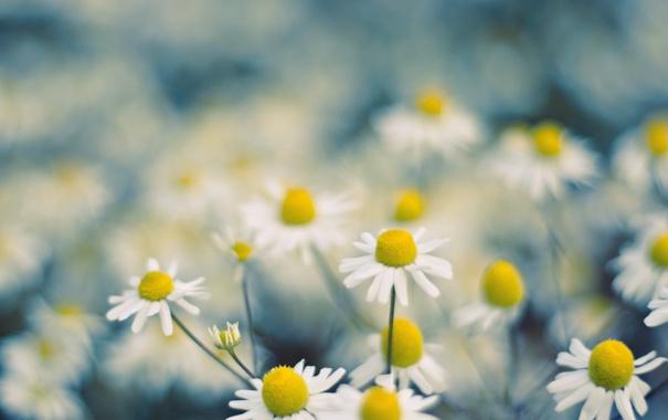 Фото обои поле, лето, макро, цветы, природа, ромашки, размытость