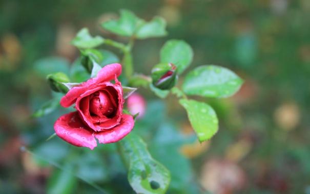 Фото обои цветок, листья, роза, лепестки