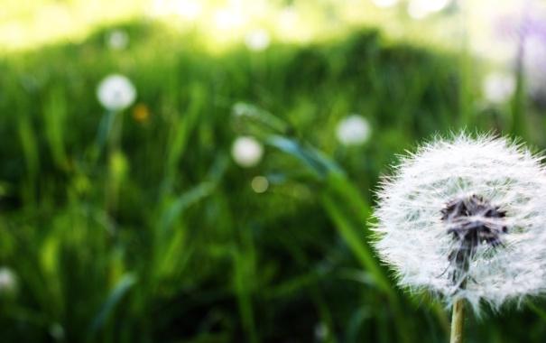 Фото обои поле, цветок, макро, одуванчик, поляна, стебель, macro