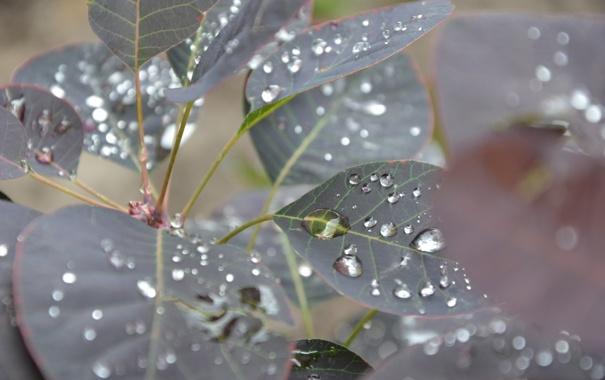Фото обои капли, макро, деревья, листочек. лист