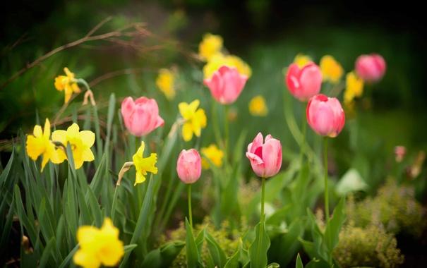 Фото обои тюльпан, весна, лепестки, сад, нарцис
