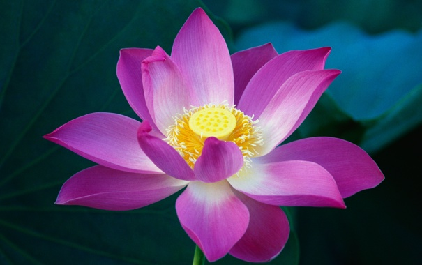 Фото обои цветы, розовый, лотус