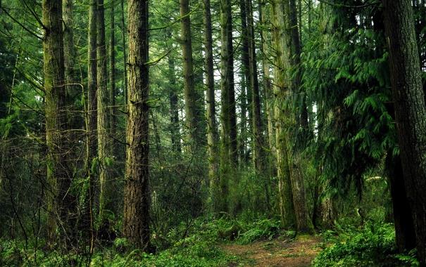 Фото обои лес, деревья, сосны