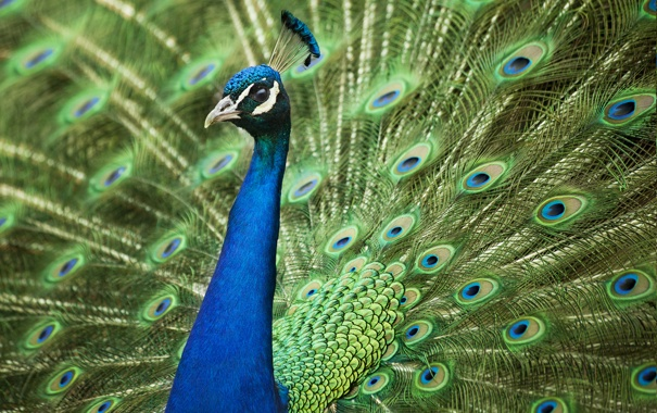 Фото обои перья, хвост, павлин