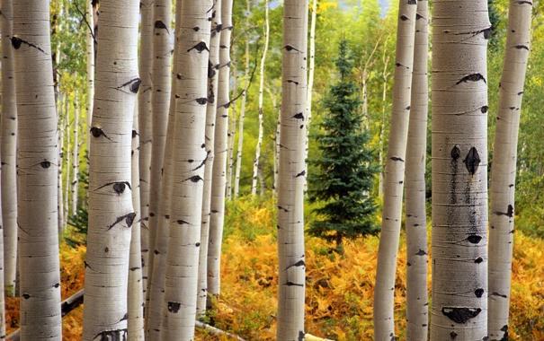 Фото обои осень, лес, деревья, ель, ствол, береза, осина