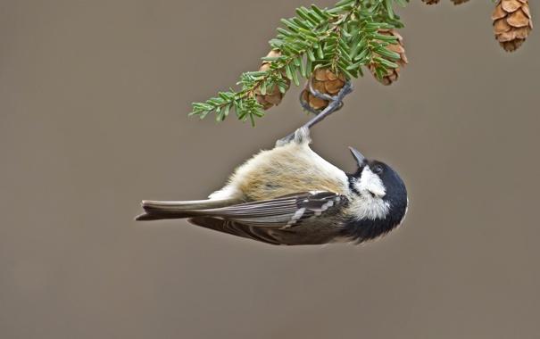 Фото обои птица, ветка, шишки, синица