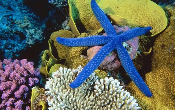 Фото обои море, кораллы, морская звезда, подводный мир, underwater