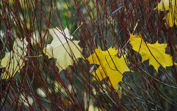 Фото обои осень, листья, макро, Ветки