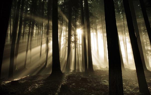 Фото обои лес, свет, дримучий