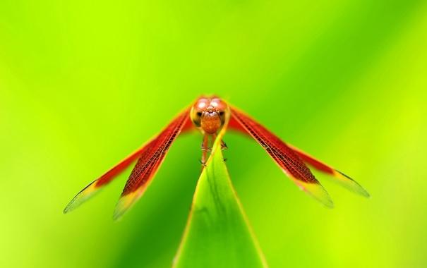 Фото обои стрекоза, растение, насекомое, крылья, глаза, голова