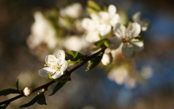 Фото обои макро, цветы, природа, вишня, ветка, весна, размытость