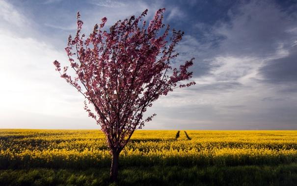 Фото обои поле, лето, природа, дерево, рапс