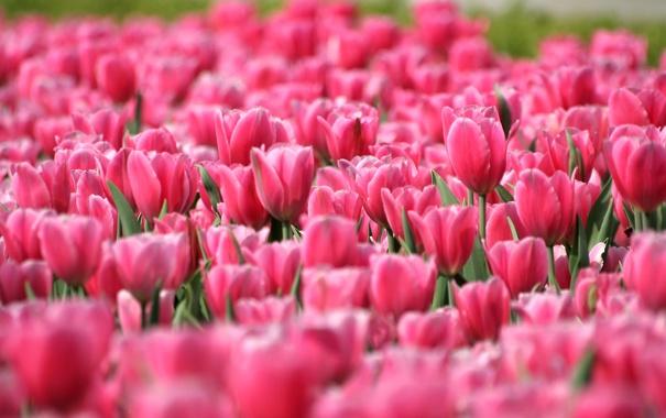 Фото обои поле, цветы, природа, лепестки, тюльпаны, бутоны