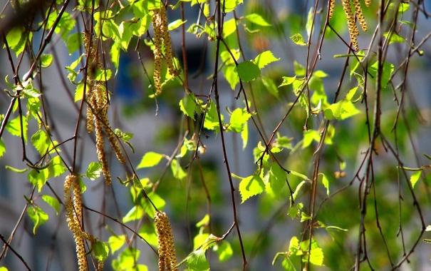 Фото обои листья, береза, сережки, весна