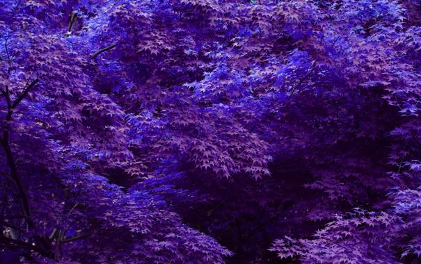 Фото обои фиолетовые, листья, деревья, синие