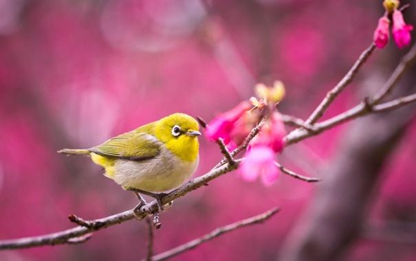 Фото обои сакура, птица, цветение, ветка