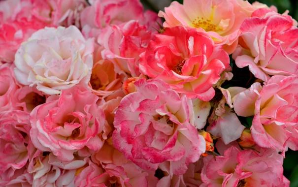 Фото обои цветы, фото, розы, розовые, много